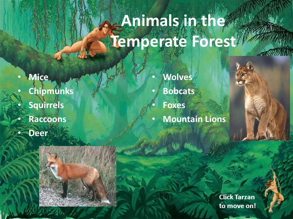 Animals in the Temperate Forest Mice Chipmunks Squirrels Raccoons Deer Wolves Bobcats Foxes Mountain Lions Click Tarzan to move on!