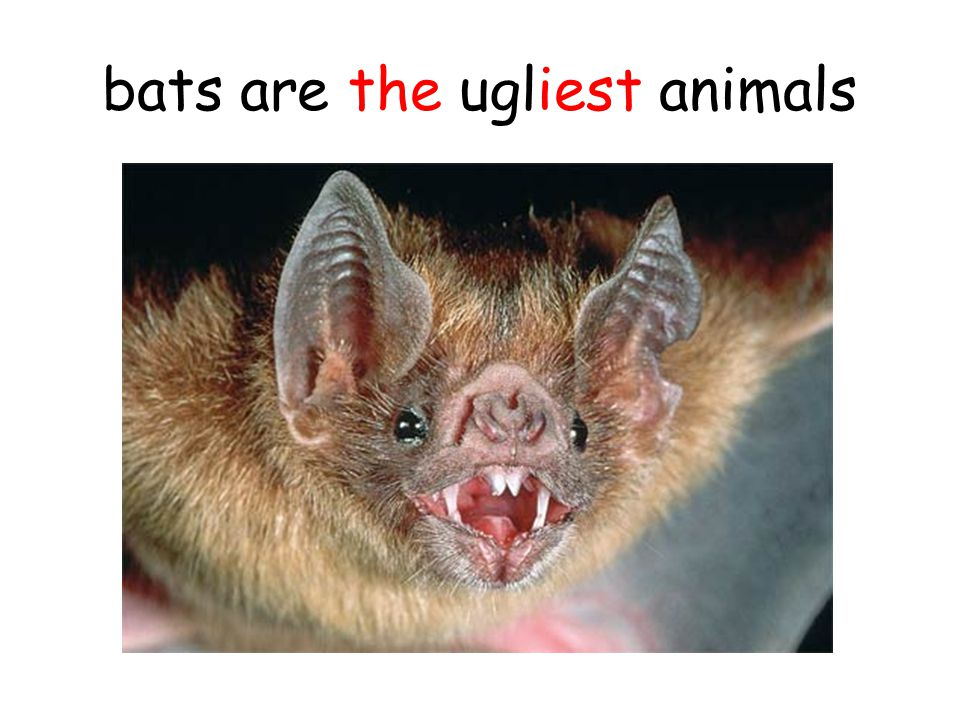 bats are the ugliest animals
