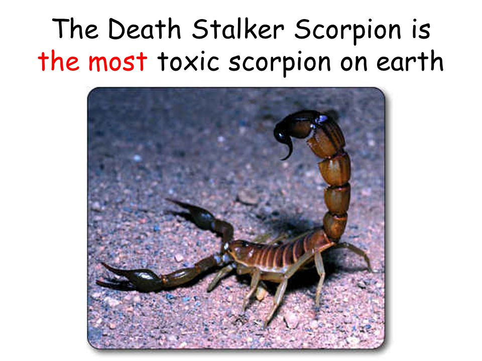 The Death Stalker Scorpion is the most toxic scorpion on earth