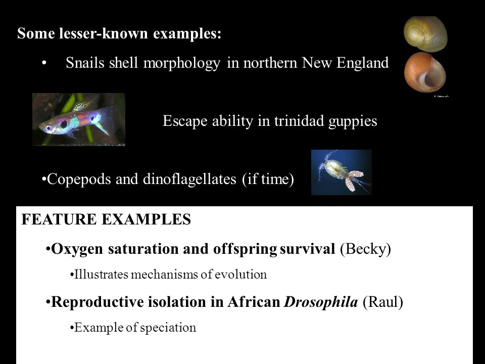 Some lesser-known examples: Snails shell morphology in northern New England Escape ability in trinidad guppies Copepods and dinoflagellates (if time) FEATURE EXAMPLES Oxygen saturation and offspring survival (Becky) Illustrates mechanisms of evolution Reproductive isolation in African Drosophila (Raul) Example of speciation