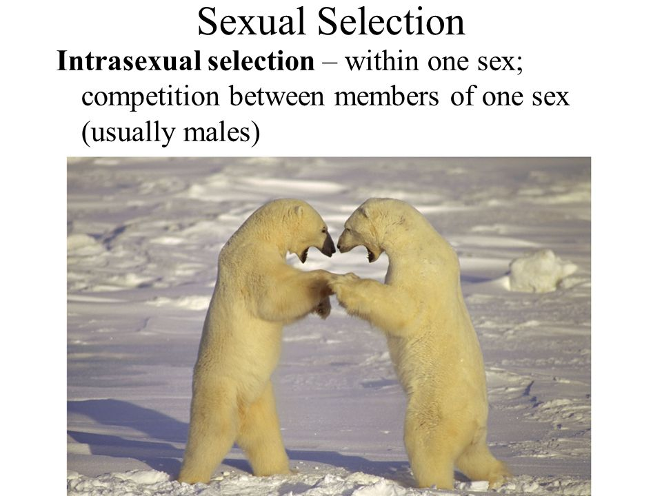 Sexual Selection Intrasexual selection – within one sex; competition between members of one sex (usually males)