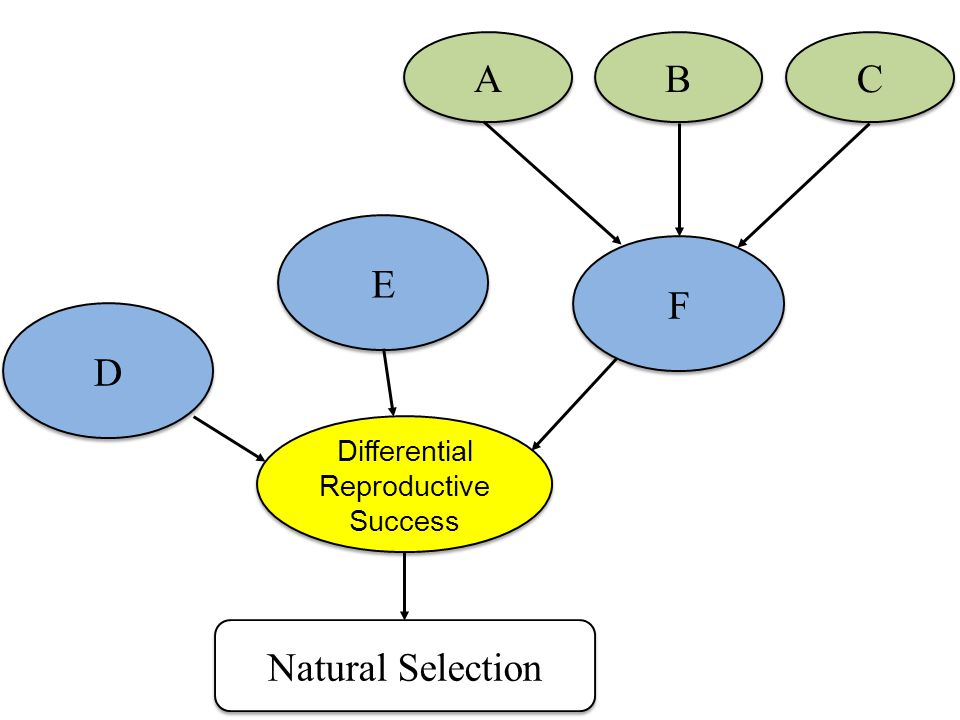 Differential Reproductive Success Differential Reproductive Success D D E E Natural Selection F F A A B B C C