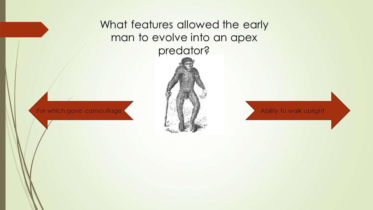 What features allowed the early man to evolve into an apex predator.