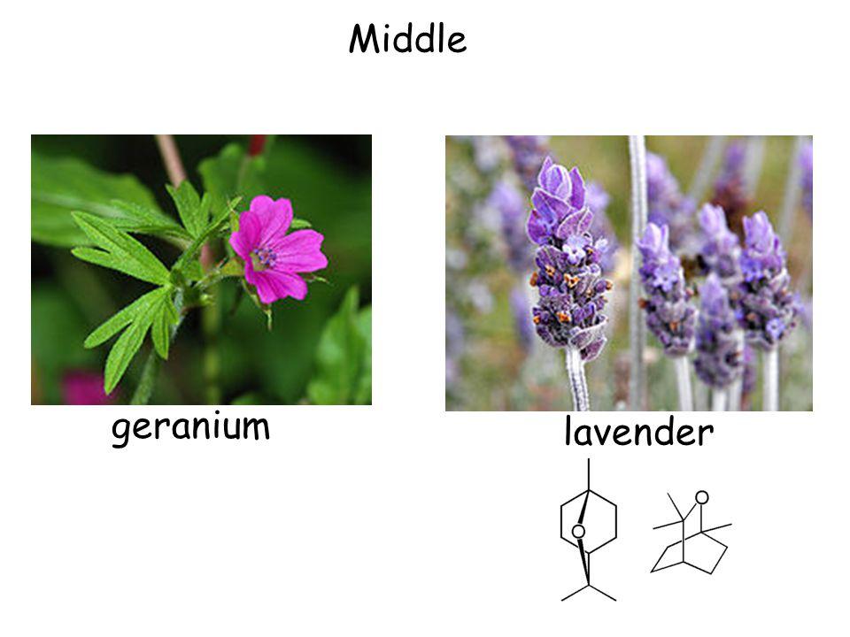 Middle geranium lavender