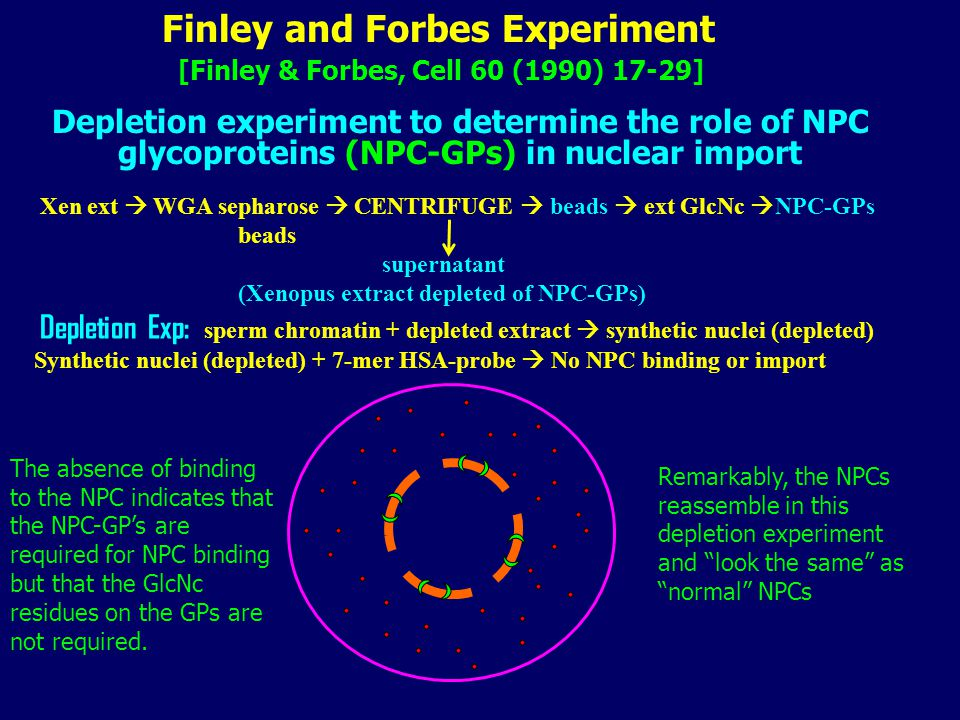 Finley and Forbes Experiment Depletion experiment to determine the role of NPC glycoproteins (NPC-GPs) in nuclear import Xen ext  WGA sepharose  CENTRIFUGE  beads  ext GlcNc  NPC-GPs beads supernatant (Xenopus extract depleted of NPC-GPs) Depletion Exp: sperm chromatin + depleted extract  synthetic nuclei (depleted) Synthetic nuclei (depleted) + 7-mer HSA-probe  No NPC binding or import Remarkably, the NPCs reassemble in this depletion experiment and look the same as normal NPCs The absence of binding to the NPC indicates that the NPC-GP's are required for NPC binding but that the GlcNc residues on the GPs are not required.