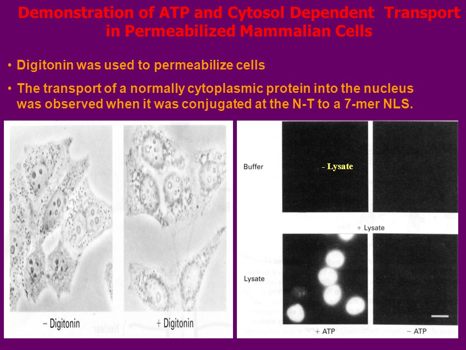 Demonstration of ATP and Cytosol Dependent Transport in Permeabilized Mammalian Cells Digitonin was used to permeabilize cells The transport of a normally cytoplasmic protein into the nucleus was observed when it was conjugated at the N-T to a 7-mer NLS.