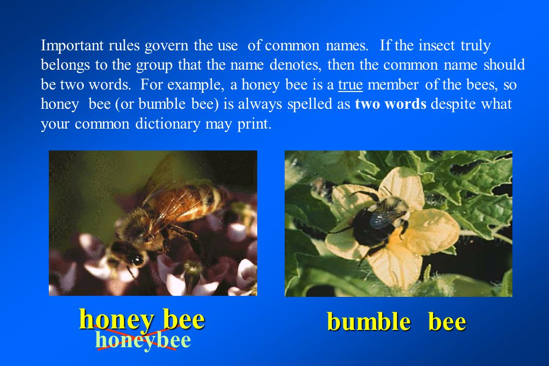 honeybee bumble bee honey bee Important rules govern the use of common names. If the insect truly belongs to the group that the name denotes, then the