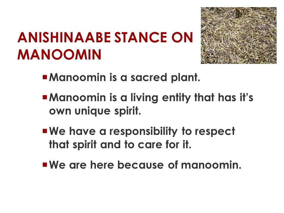 ANISHINAABE STANCE ON MANOOMIN  We consider it to be sacred, because it s a gift from the creator, said White Earth elder Earl Hoaglund.