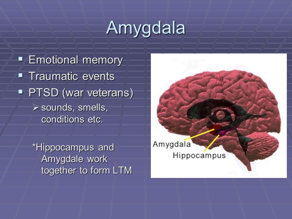 Amygdala  Emotional memory  Traumatic events  PTSD (war veterans)  sounds, smells, conditions etc.