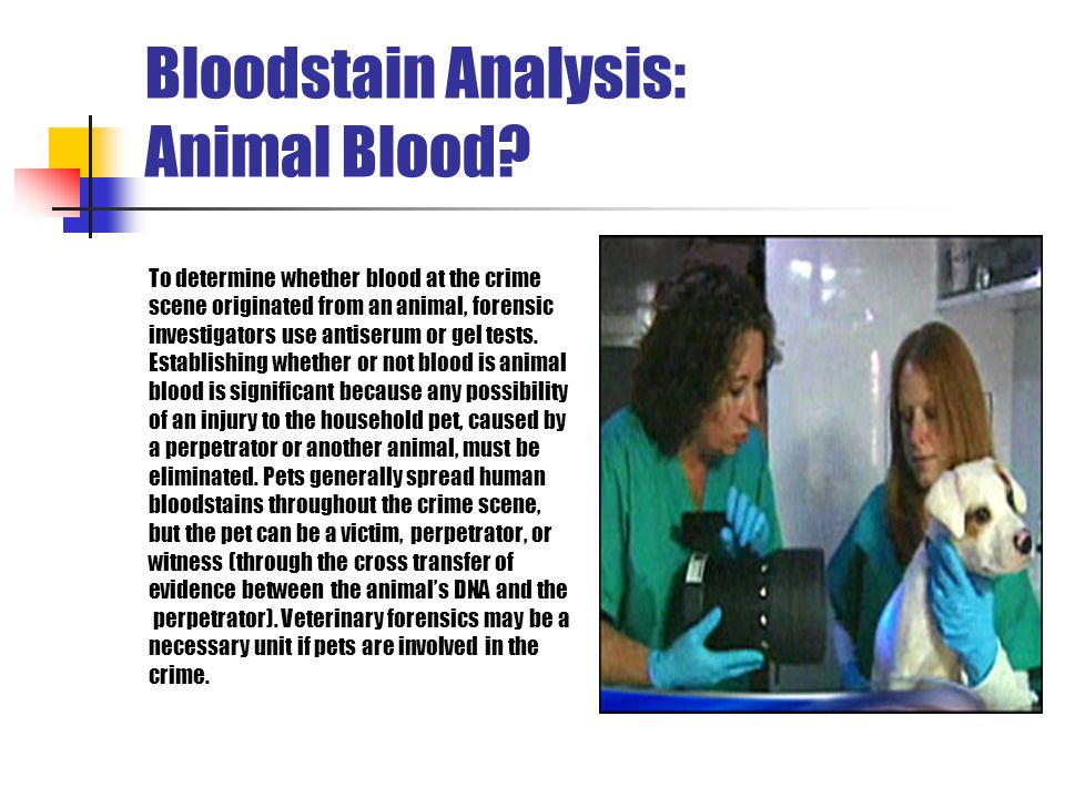 Bloodstain Analysis: Animal Blood? To determine whether blood at the crime scene originated from an animal, forensic investigators use antiserum or ge