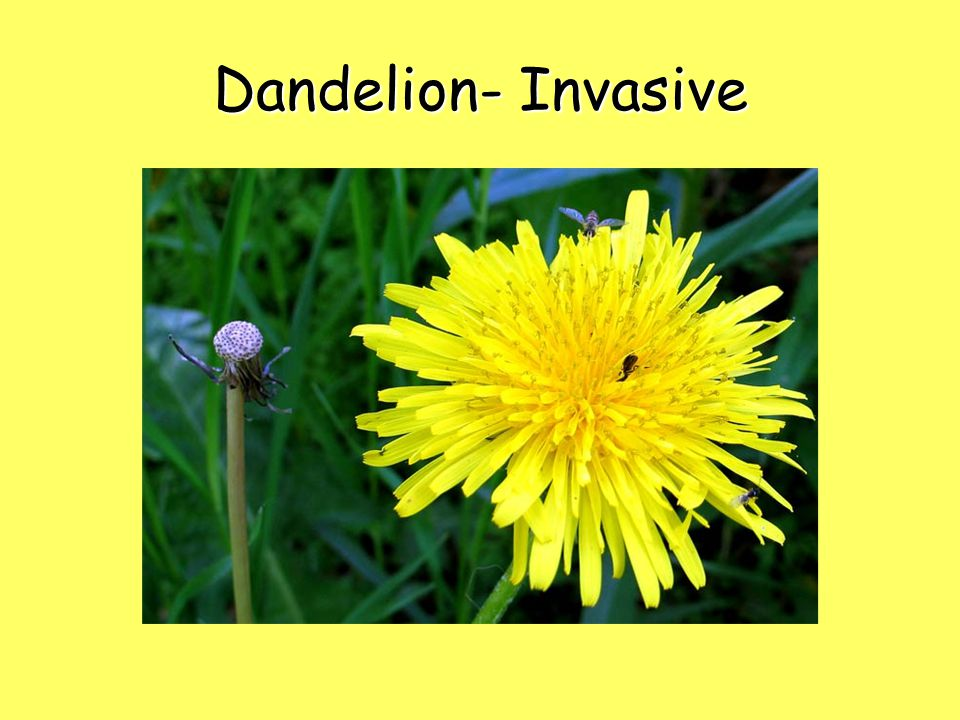 Dandelion- Invasive