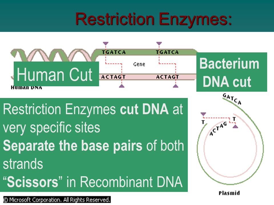 5. Tobacco Recombinant DNA Process: a. Isolated DNA to be inserted into host b. Attach DNA fragment to a vehicle (vector) c. Transfer the vector to th