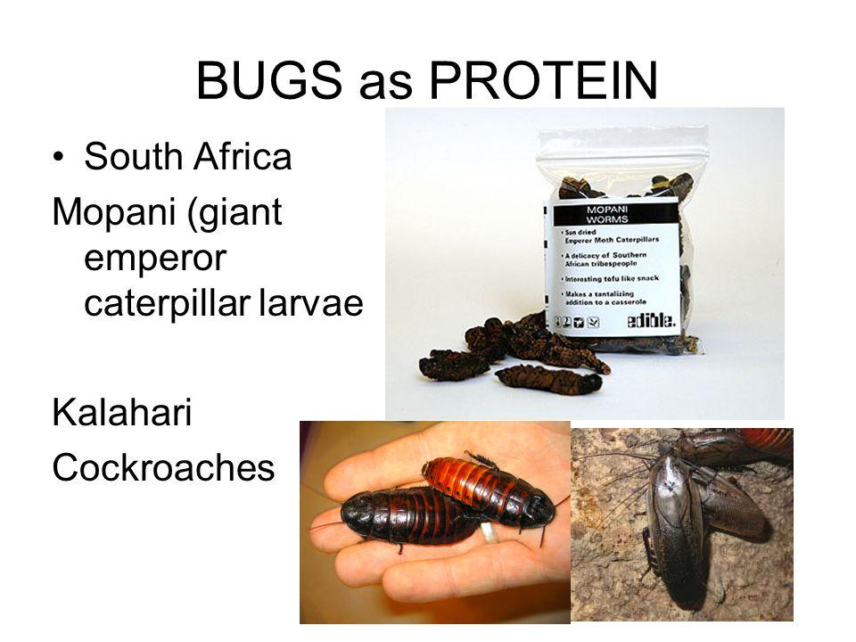 BUGS as PROTEIN South Africa Mopani (giant emperor caterpillar larvae Kalahari Cockroaches