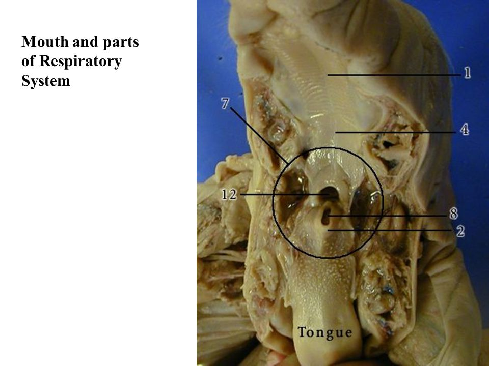 Mouth and parts of Respiratory System