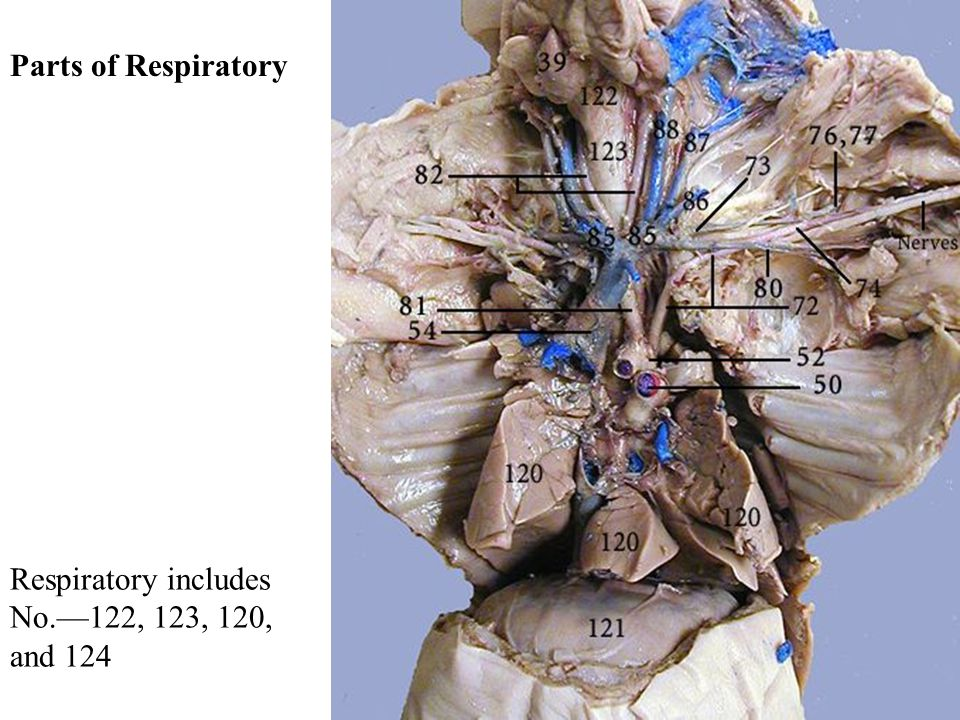 Respiratory includes No.—122, 123, 120, and 124 Parts of Respiratory