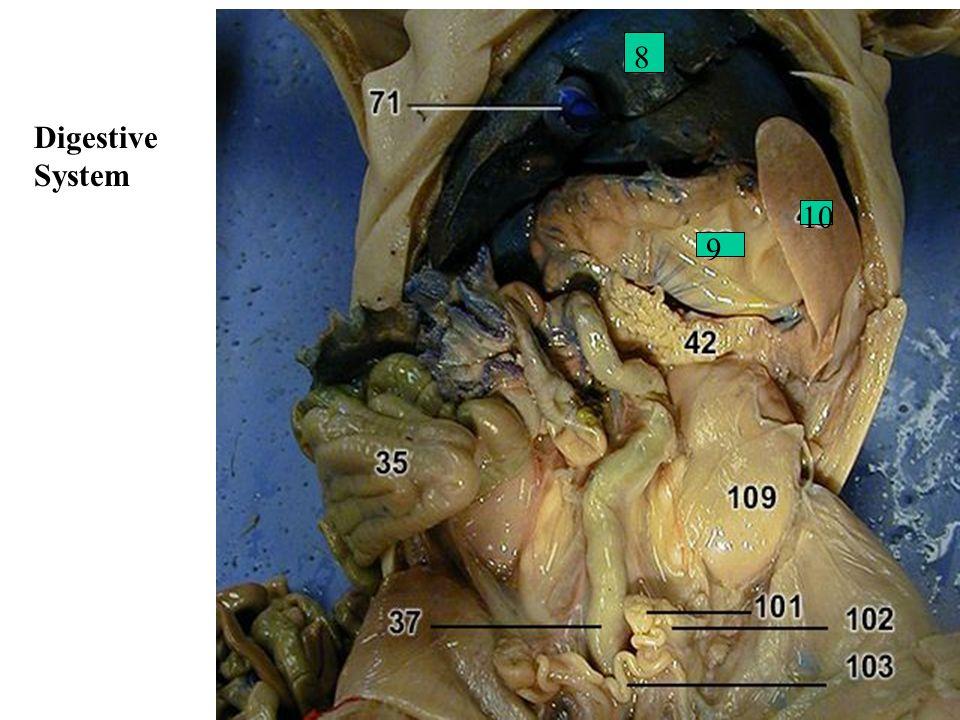 Digestive System 8 9 10