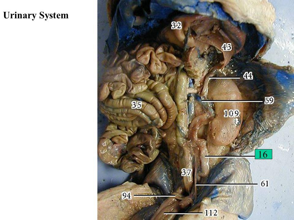 Urinary System 16