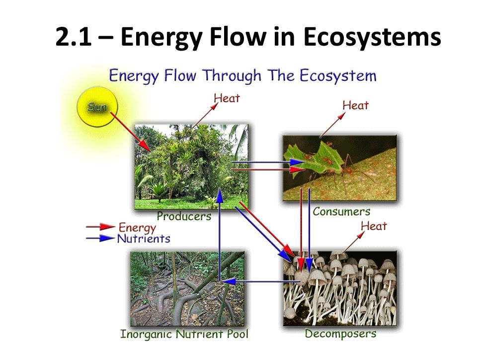 Energy Flow and Energy Loss in Ecosystems: Food Pyramids Food pyramids show the changes in available energy from one trophic level to another in a food chain.