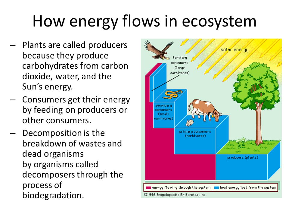 Energy Flow and Energy Loss in Ecosystems: Food Chains Scientists use different methods to represent energy moving through ecosystems.