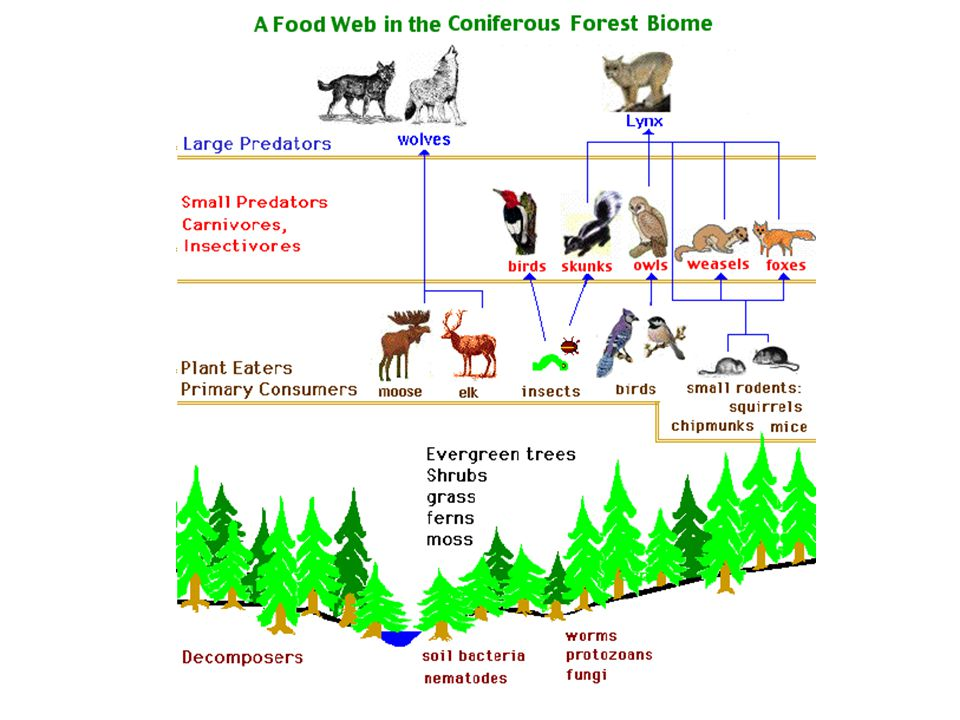 Food pyramids are also known as ecological pyramids – Ecological pyramids may show biomass, population, or energy numbers.