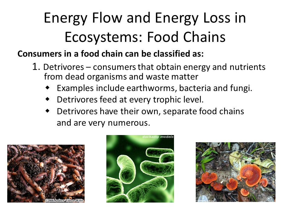 Energy Flow and Energy Loss in Ecosystems: Food Chains Consumers in a food chain can be classified as: 1. Detrivores – consumers that obtain energy an