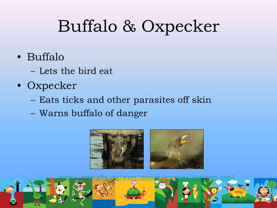 Buffalo & Oxpecker Buffalo –Lets the bird eat Oxpecker –Eats ticks and other parasites off skin –Warns buffalo of danger http://www.pbs.org/wnet/natur