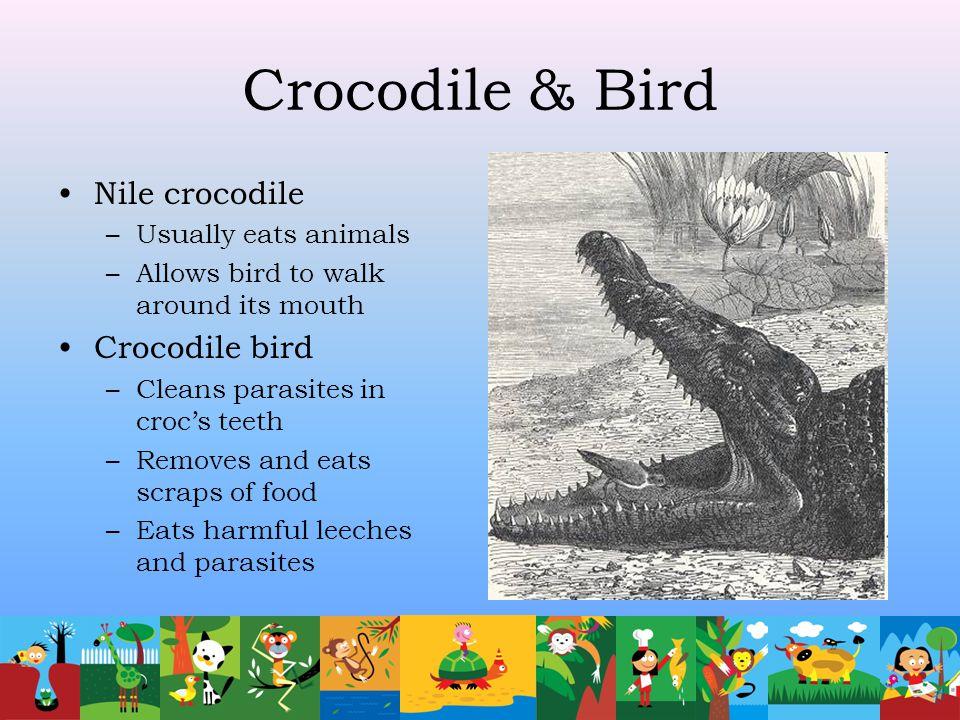 Crocodile & Bird Nile crocodile –Usually eats animals –Allows bird to walk around its mouth Crocodile bird –Cleans parasites in croc's teeth –Removes