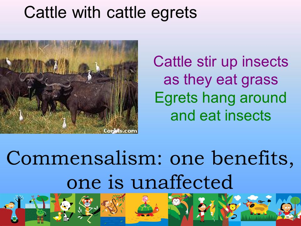Commensalism: one benefits, one is unaffected Cattle with cattle egrets Cattle stir up insects as they eat grass Egrets hang around and eat insects