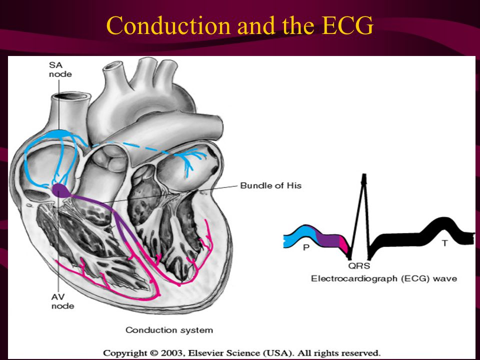Conduction and the ECG