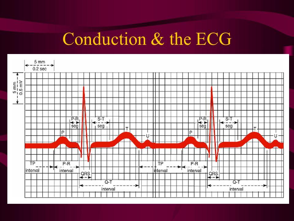 Conduction & the ECG