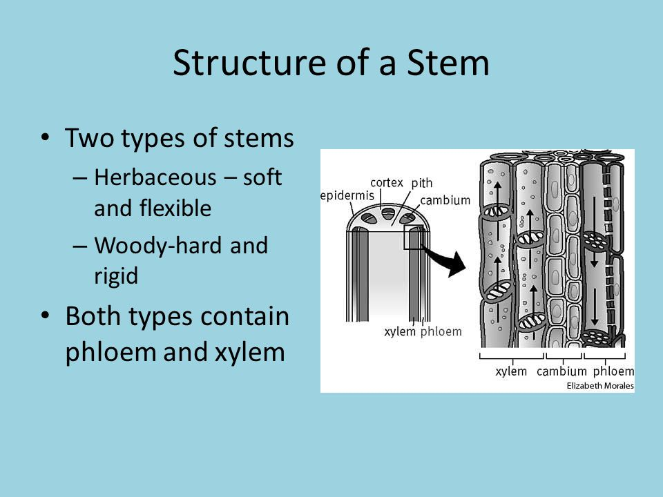 Structure of a Stem Two types of stems – Herbaceous – soft and flexible – Woody-hard and rigid Both types contain phloem and xylem