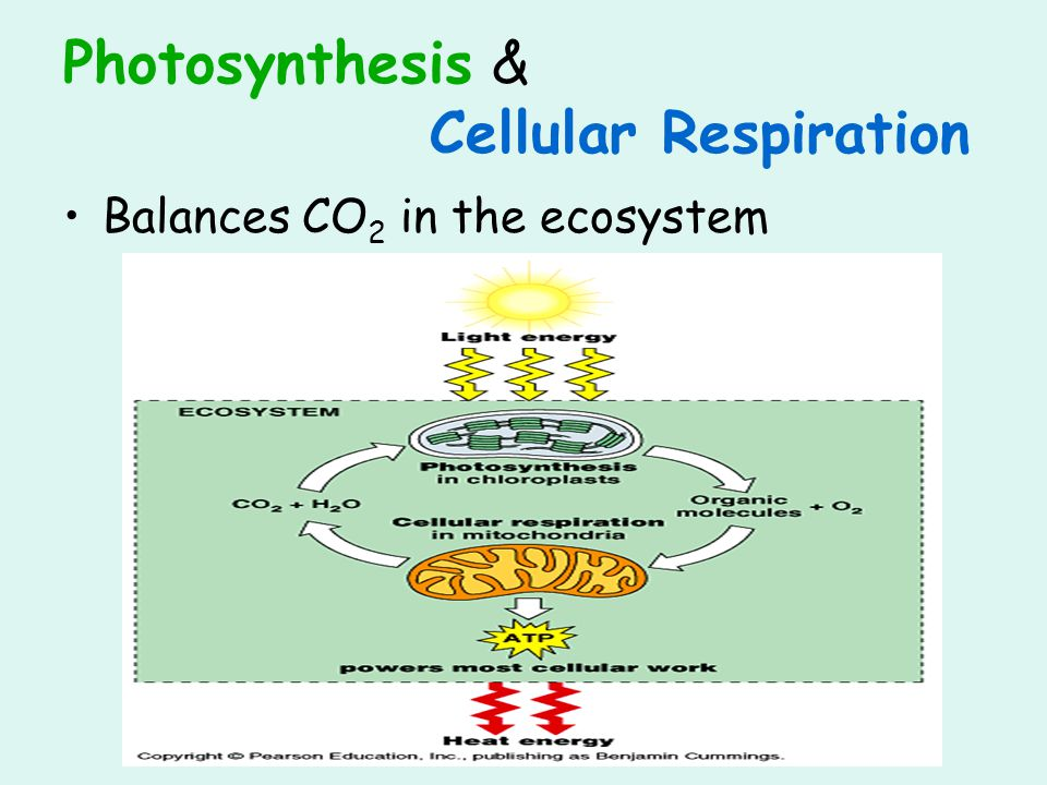 Photosynthesis & Cellular Respiration Balances CO 2 in the ecosystem