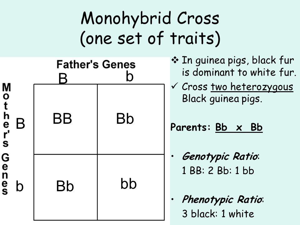 Monohybrid Cross (one set of traits)  In guinea pigs, black fur is dominant to white fur. Cross two heterozygous Black guinea pigs. Parents: Bb x Bb