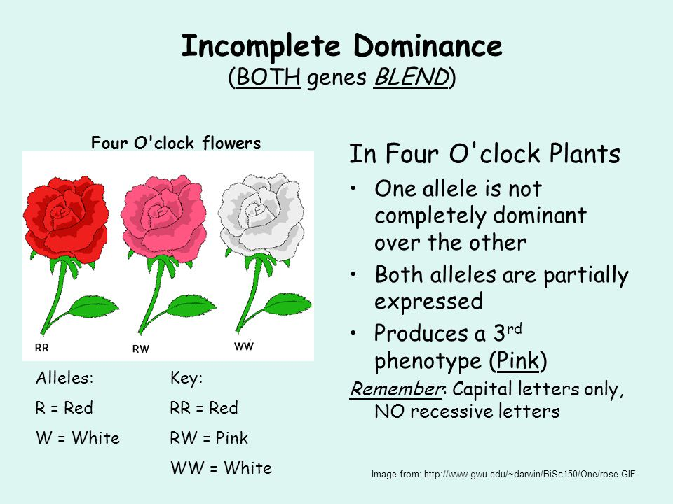 Incomplete Dominance (BOTH genes BLEND) In Four O clock Plants One allele is not completely dominant over the other Both alleles are partially expressed Produces a 3 rd phenotype (Pink) Remember: Capital letters only, NO recessive letters Four O clock flowers Alleles:Key: R = RedRR = Red W = WhiteRW = Pink WW = White Image from: http://www.gwu.edu/~darwin/BiSc150/One/rose.GIF