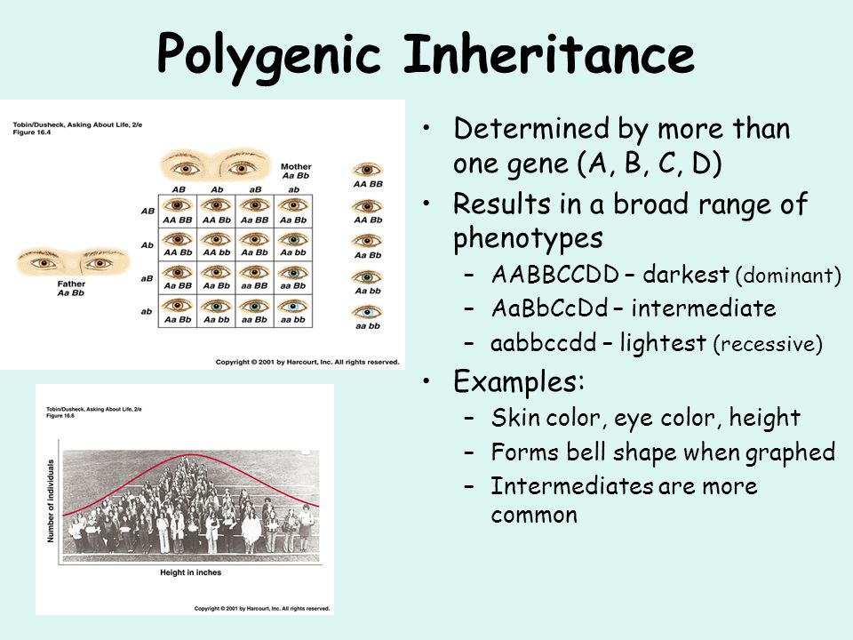 Polygenic Inheritance Determined by more than one gene (A, B, C, D) Results in a broad range of phenotypes –AABBCCDD – darkest (dominant) –AaBbCcDd –