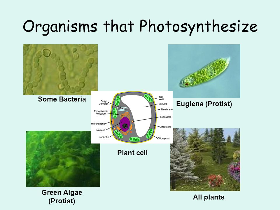 Organisms that Photosynthesize Some Bacteria Euglena (Protist) Green Algae (Protist) All plants Plant cell