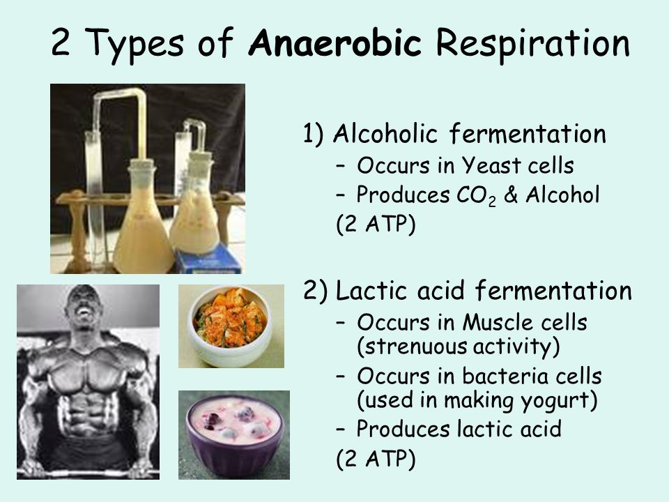2 Types of Anaerobic Respiration 1) Alcoholic fermentation –Occurs in Yeast cells –Produces CO 2 & Alcohol (2 ATP) 2) Lactic acid fermentation –Occurs in Muscle cells (strenuous activity) –Occurs in bacteria cells (used in making yogurt) –Produces lactic acid (2 ATP)