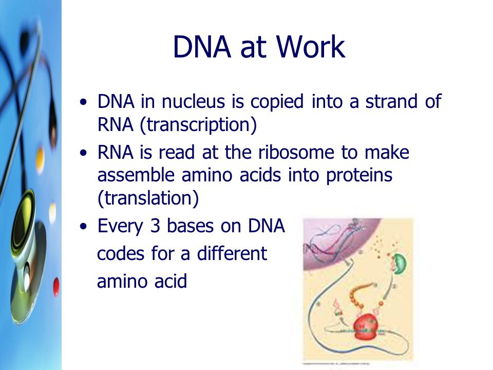 DNA at Work DNA in nucleus is copied into a strand of RNA (transcription) RNA is read at the ribosome to make assemble amino acids into proteins (tran