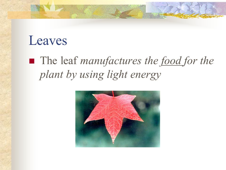 Leaves The leaf manufactures the food for the plant by using light energy