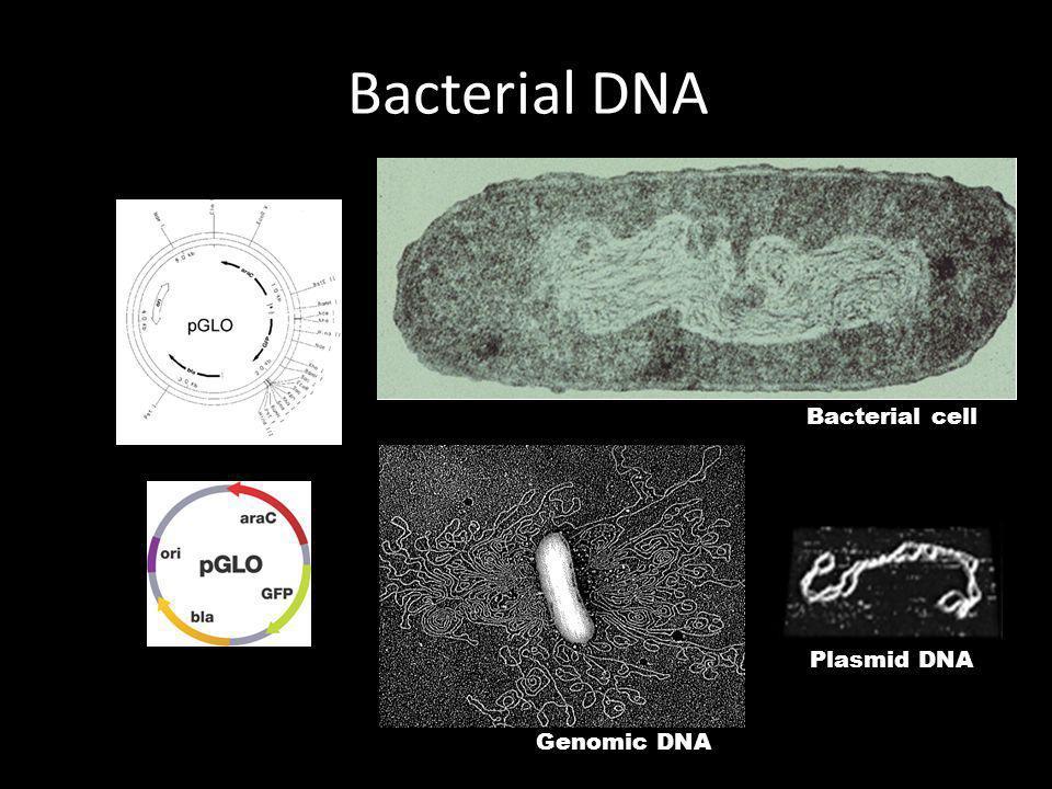 Bacterial DNA Plasmid DNA Bacterial cell Genomic DNA