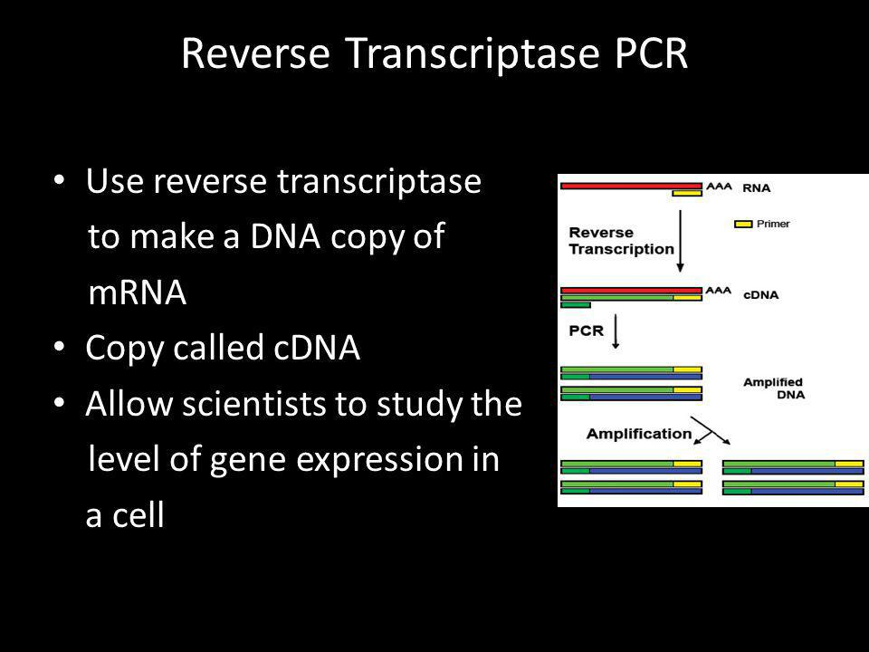 Reverse Transcriptase PCR Use reverse transcriptase to make a DNA copy of mRNA Copy called cDNA Allow scientists to study the level of gene expression