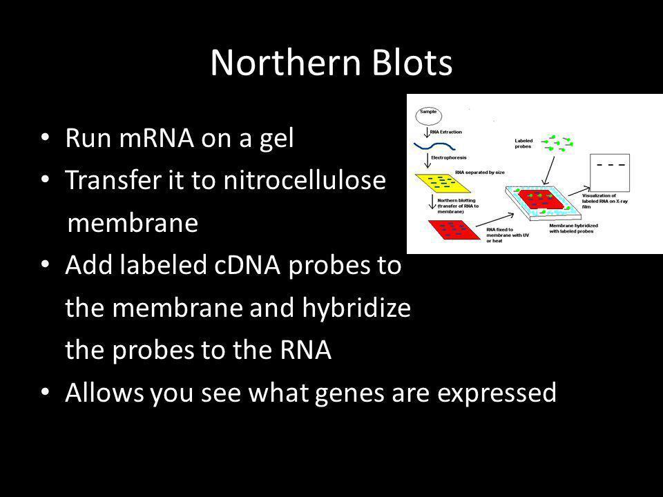 Northern Blots Run mRNA on a gel Transfer it to nitrocellulose membrane Add labeled cDNA probes to the membrane and hybridize the probes to the RNA Al