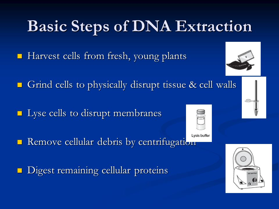 Basic Steps of DNA Extraction Harvest cells from fresh, young plants Harvest cells from fresh, young plants Grind cells to physically disrupt tissue &