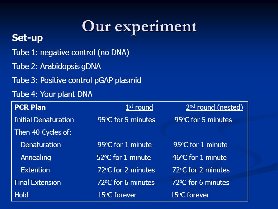 Our experiment Set-up Tube 1: negative control (no DNA) Tube 2: Arabidopsis gDNA Tube 3: Positive control pGAP plasmid Tube 4: Your plant DNA PCR Plan1 st round 2 nd round (nested) Initial Denaturation95 o C for 5 minutes 95 o C for 5 minutes Then 40 Cycles of: Denaturation 95 o C for 1 minute 95 o C for 1 minute Annealing 52 o C for 1 minute 46 o C for 1 minute Extention 72 o C for 2 minutes 72 o C for 2 minutes Final Extension 72 o C for 6 minutes 72 o C for 6 minutes Hold 15 o C forever 15 o C forever