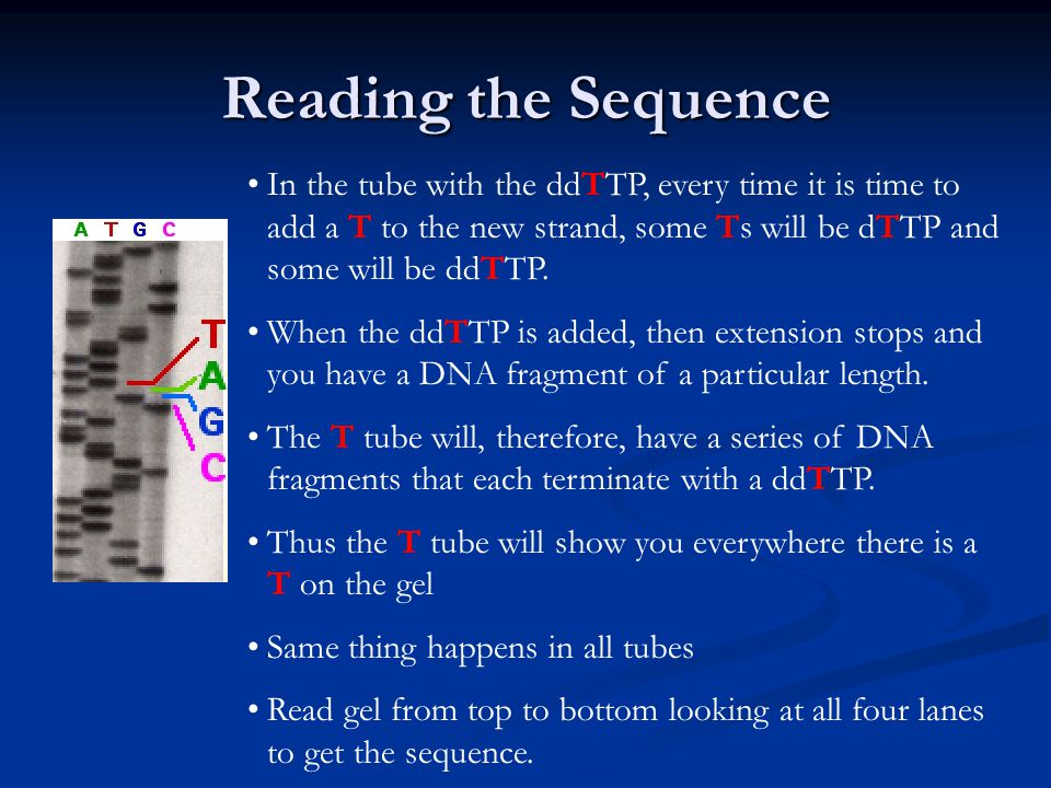 Reading the Sequence In the tube with the ddTTP, every time it is time to add a T to the new strand, some Ts will be dTTP and some will be ddTTP. When