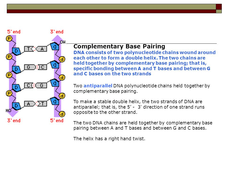 Complementary Base Pairing DNA consists of two polynucleotide chains wound around each other to form a double helix. The two chains are held together