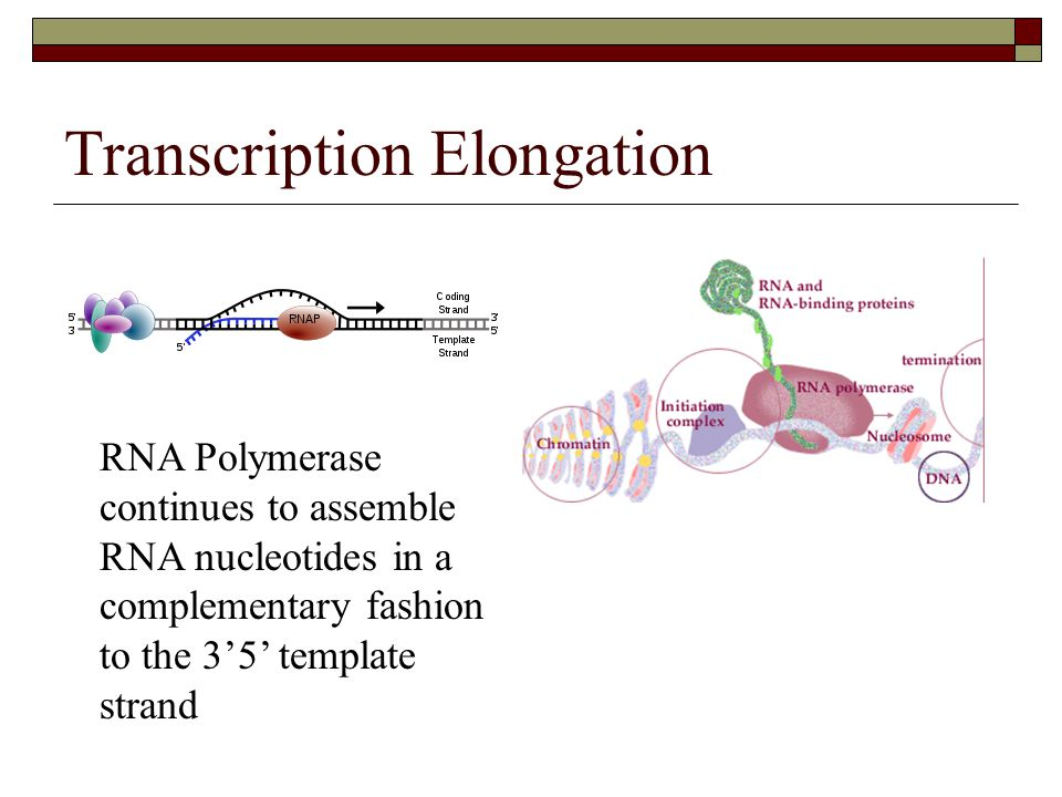 Transcription Elongation RNA Polymerase continues to assemble RNA nucleotides in a complementary fashion to the 3'5' template strand