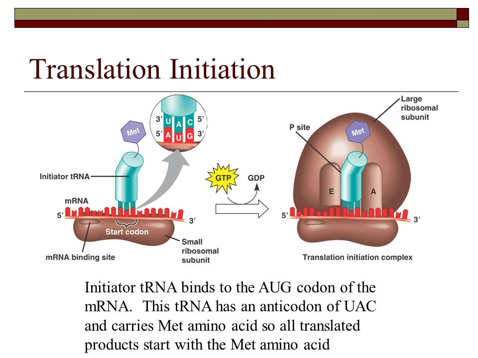 Translation Initiation Initiator tRNA binds to the AUG codon of the mRNA. This tRNA has an anticodon of UAC and carries Met amino acid so all translat