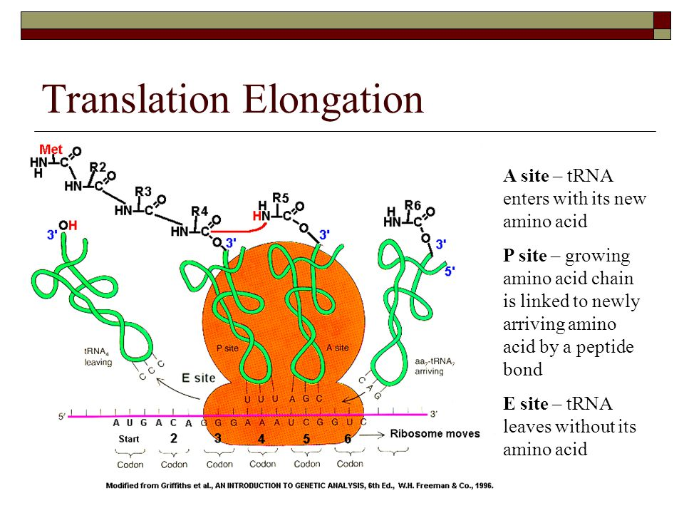 Translation Elongation A site – tRNA enters with its new amino acid P site – growing amino acid chain is linked to newly arriving amino acid by a pept