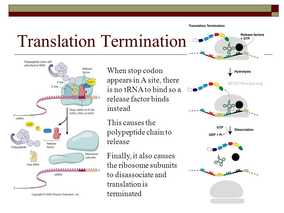 Translation Termination When stop codon appears in A site, there is no tRNA to bind so a release factor binds instead This causes the polypeptide chai